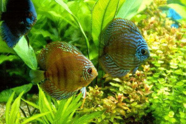 7 واحد پرورش ماهی زینتی در چهارمحال و بختیاری فعالیت می نمایند