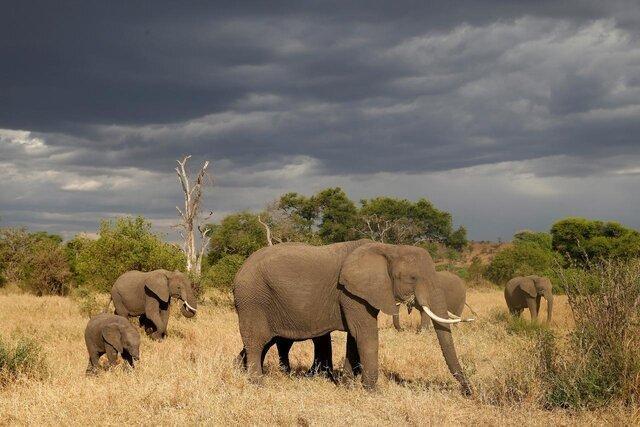تلف شدن 115 راس فیل به دلیل خشکسالی در زیمبابوه