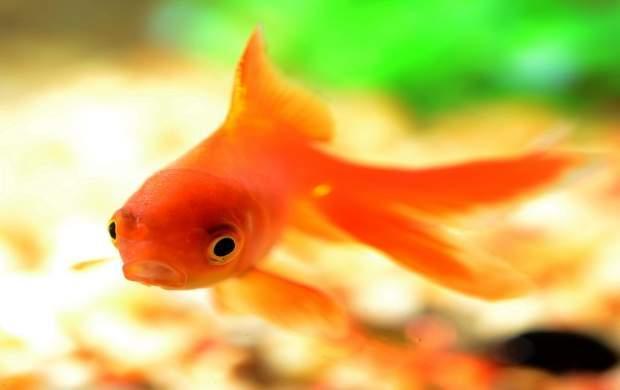 ماهی قرمز می تواند ناقل ویروس کرونا باشد؟