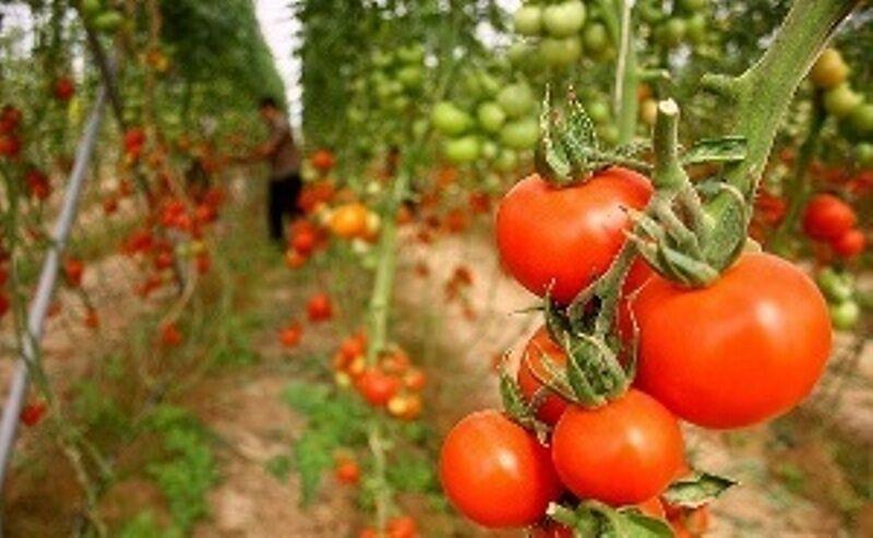 خبرنگاران صادرات حدود یکهزار تن گوجه فرنگی از میرجاوه به روسیه و کشورهای حاشیه خلیج فارس