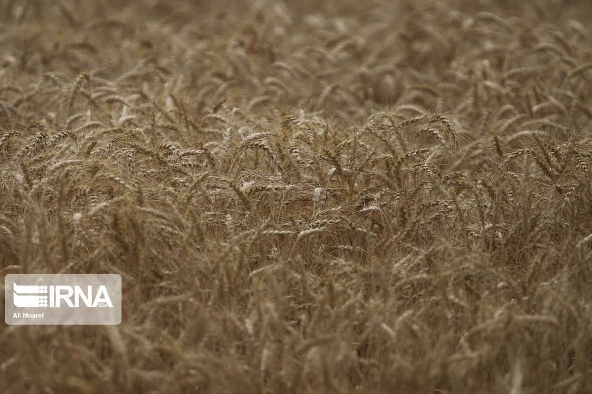 خبرنگاران رییس جهاد کشاورزی: توزیع بذر گندم در ایلام سه برابر شد