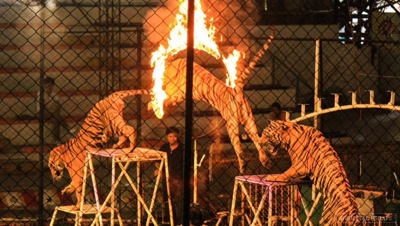باغ وحش ببرها در پاتایا